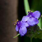 Spiderwort by Maureen Jochetz