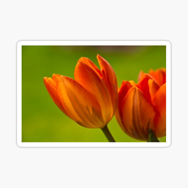 Tulpen II Sticker