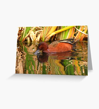 Cinnamon Teal ~ Male Greeting Card