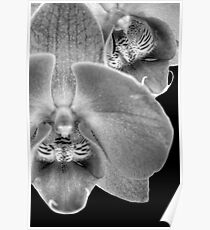 Moth OrchidBW Poster