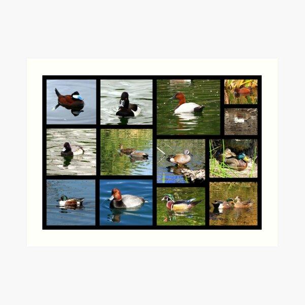Migrating & Resident Ducks of Southwest Arizona ~ Poster Art Print