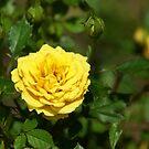Mama's Yellow Rose by Linda Yates