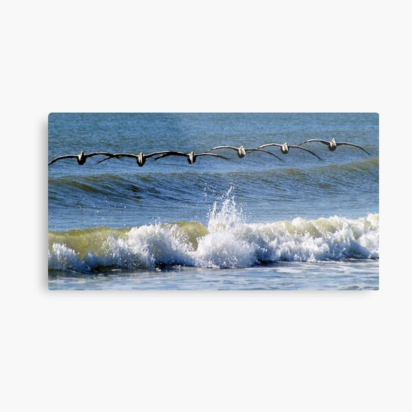 Pelicans in search formation...looking for their breakfast Metal Print