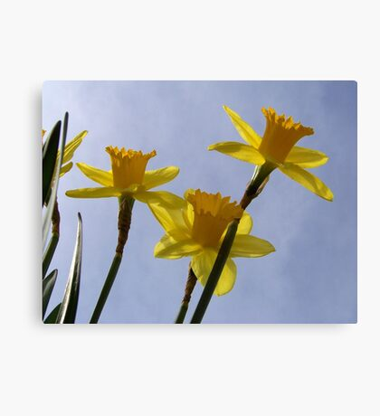 Daffodil from a bug's point of view. Canvas Print