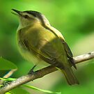 Red Eyed Vireo by KS-Photography