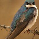 Tree Swallow by KS-Photography