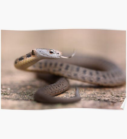 Rough Scaled Snake Poster