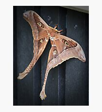 male hercules moth - north queensland Photographic Print