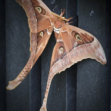 male hercules moth - north queensland by colhellmuth