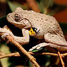 Emerald Spotted Tree Frog - Litoria peronii 2 by Normf