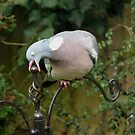 Short sighted wood pigeon by Caroline Anderson