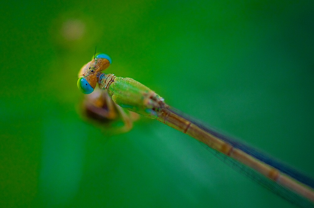 Damselfly by Mukesh Srivastava