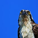 Morning Osprey by Michiale