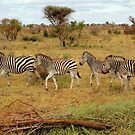 Zebras by Tracy Riddell