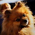 Hund - Spitz  von laura-S