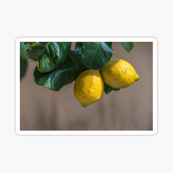 Fresh Lemons Growing on a Lemon Tree in Italy Sticker
