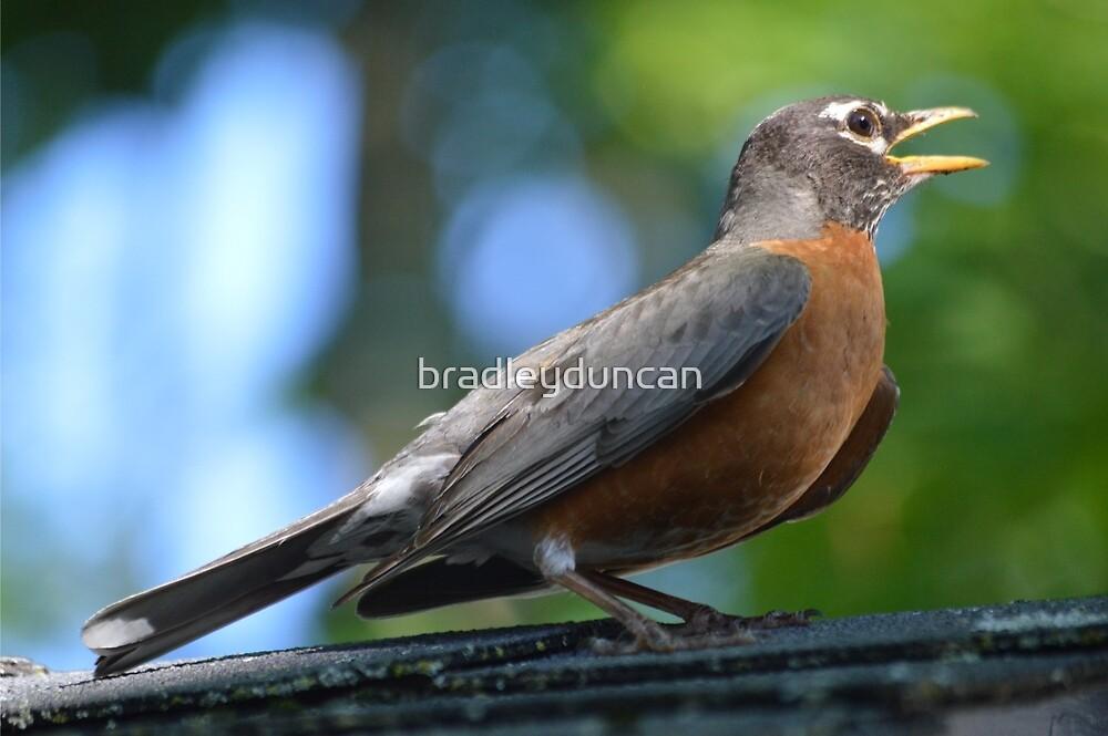 Robin by bradleyduncan