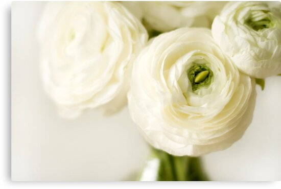 White Ranunculus Flowers Canvas Prints By Wendy Kennedy Redbubble