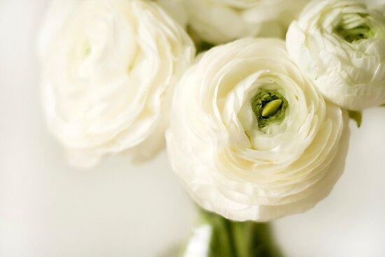 White ranunculus flowers photographic prints by wendy kennedy white ranunculus flowers by wendy kennedy mightylinksfo