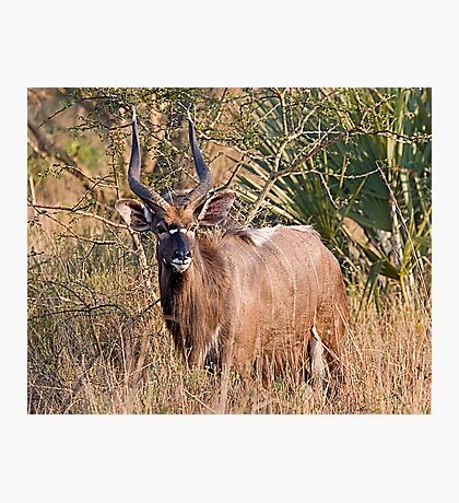 Male Nyala Photographic Print