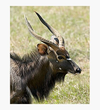 Male Nyala Close Up Photographic Print