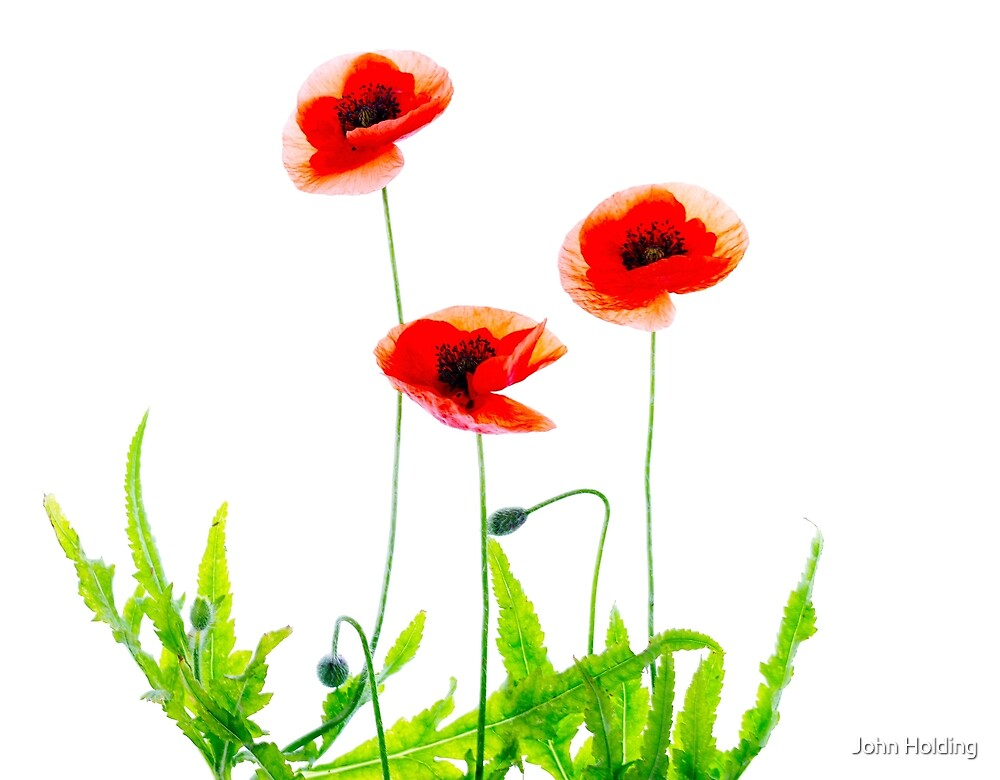 Flanders Poppies by John Holding