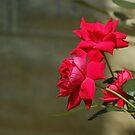 Red Roses by Linda Yates