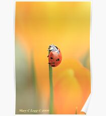 Seven spot lady beetle against a yellow crocus Poster