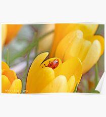 Ladybird beetle  explores interior of yellow crocus. Coccinella septempunctata Poster