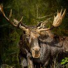The Bull Moose by BelindaGreb