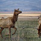 The Cow Elk by BelindaGreb