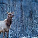 Elk at Dusk by BelindaGreb