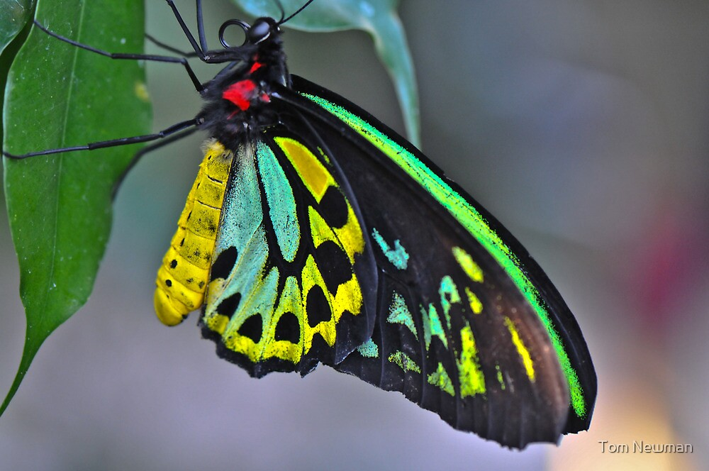 Cairns Birdwing Butterfly IV by Tom Newman