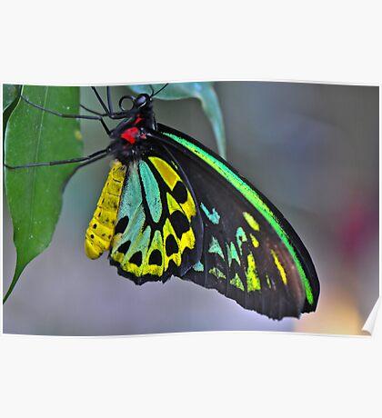 Cairns Birdwing Butterfly IV Poster