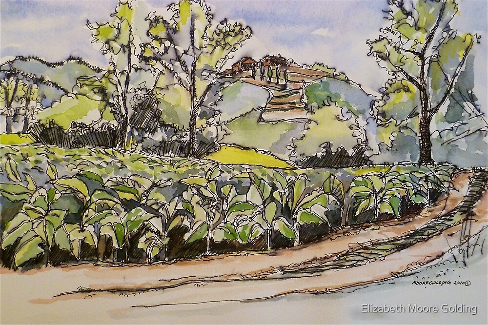Tobacco, Anghiari Italy. Pen and wash 2010Ⓒ by Elizabeth Moore Golding