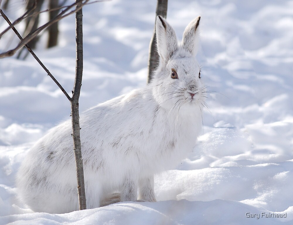 Snowshoe Hare  by Gary Fairhead
