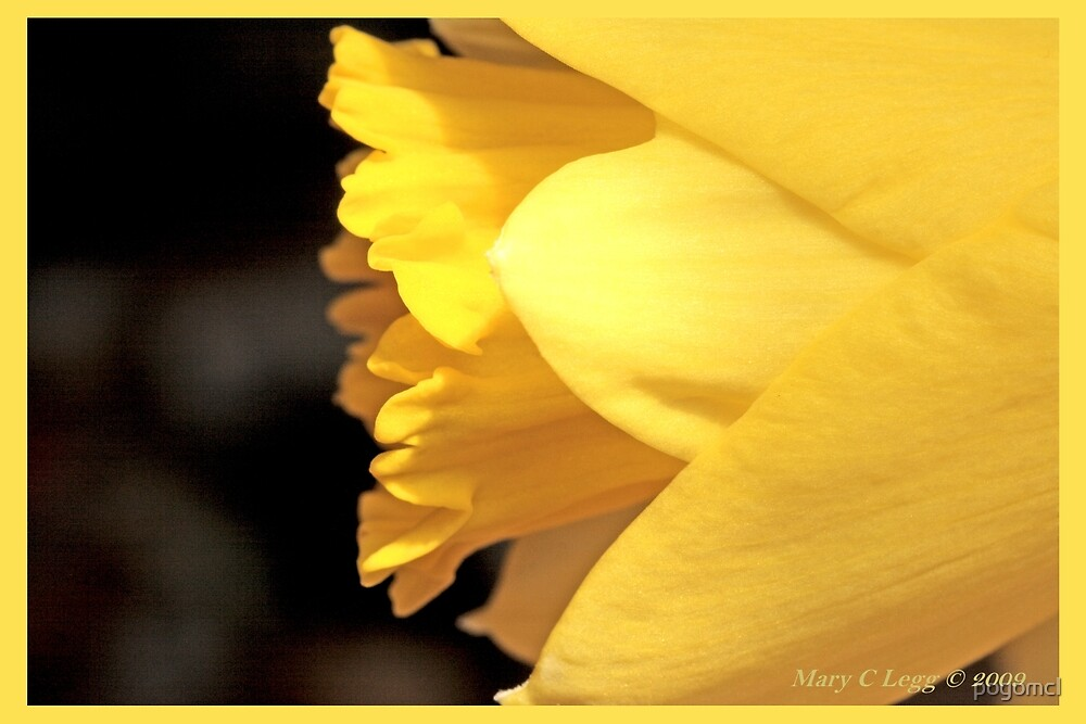 Portrait of a jonquil A by pogomcl