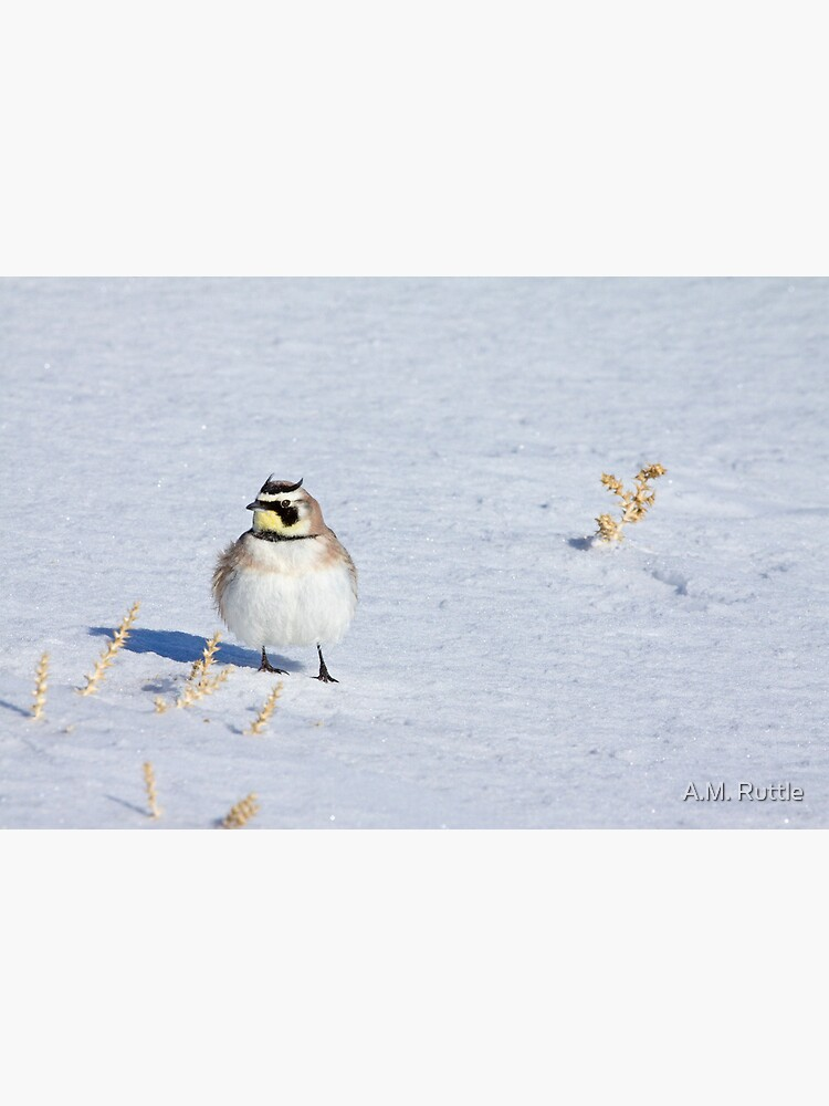 Mr. Horned Lark by annruttle