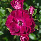 Roses On The Shrub by Joy Watson
