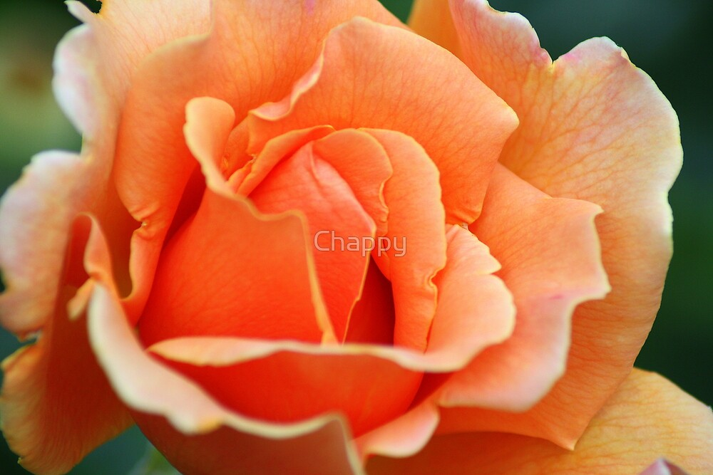 Peach Delight by Chappy