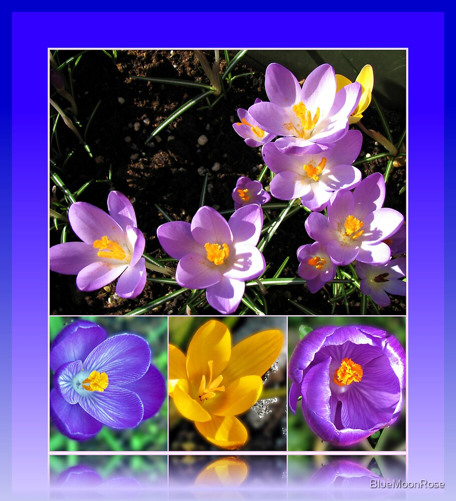 Spring Crocus Collage in Reflection Frame von BlueMoonRose