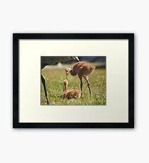 Baby Sandhill Cranes Framed Print