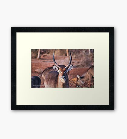 THE  WATERBUCK - Kobus ellipsiprymnus, robust and well built  Framed Print