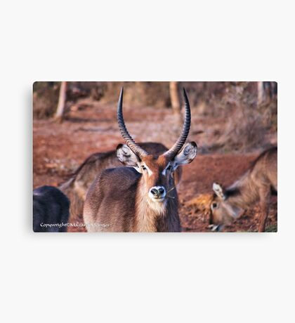 THE  WATERBUCK - Kobus ellipsiprymnus, robust and well built  Canvas Print