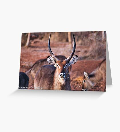 THE  WATERBUCK - Kobus ellipsiprymnus, robust and well built  Greeting Card