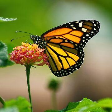 Las mariposas son gratis de lanrophot