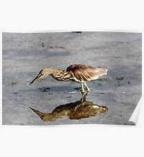 A pond heron. Poster