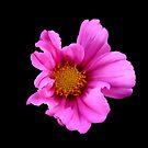 pink silk by carla-marie