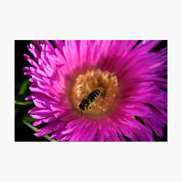 flying bee abeja volando Photographic Print