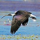 STRAW NECKED  IBIS by Raoul Madden